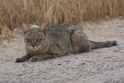 African wildcat Etosha