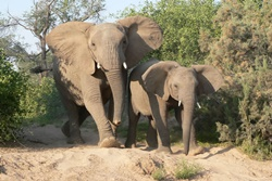Elephant tracking Damaraland