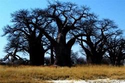 Baies Baobabs