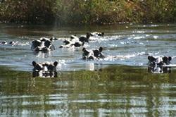 Hippos in the Kavango River