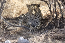 Leopard resting in the midday heat
