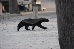 Honey badger roaming camp Halali in Etosha Nationa Park