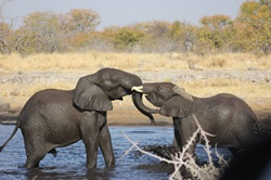 Elephant playing in water hole in Etosha National Park