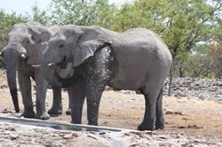 Elephant taking a midday bath
