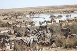 Zebra herd at Charitsaub