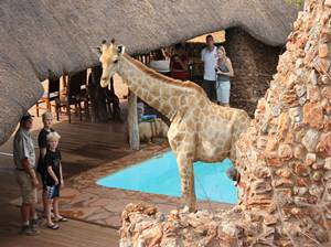 Giraffe at the pool at Okutala Lodge
