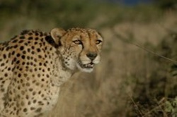 Cheetah Conservancy Foundation