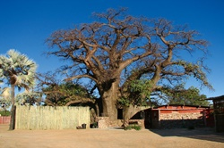 Ombalantu Baobab Tree